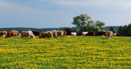 Rinder auf Gut Barz (Foto: F. Gottwald)